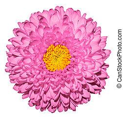 ピンク, 菊, (golden-daisy), 花, ∥で∥, 黄色, 心, マクロ, 写真撮影, 隔離された, 白