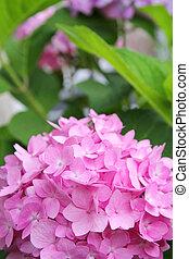 ピンク, 葉, アジサイ, 緑の背景, 前部, 花