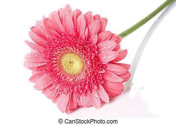 ピンク, 隔離された, 水, daisy-gerbera, 低下, 白