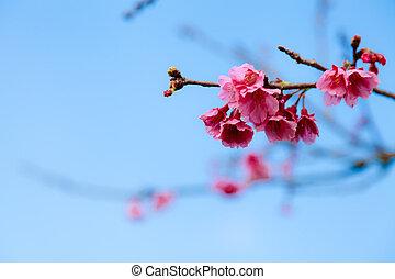 ピンク, 青い空, 明るい, sakura, 背景
