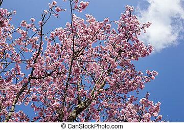 ピンク, 青, さくらんぼ, 咲く, 木, 背景, japanse, 空