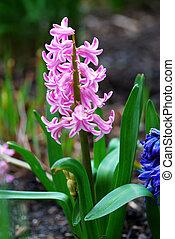 ピンク, 鮮やか, ばねの時間, 小さい, の間, 花, 庭