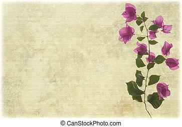 ピンク, bougainvillea, ブランチ, 上に, からかわれた, 羊皮紙