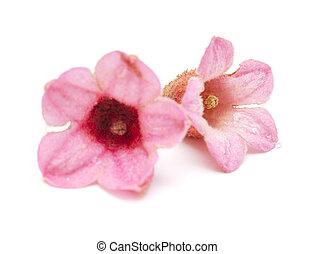 ピンク, brachychiton, bidwillii, 花