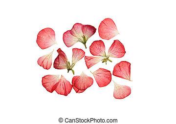 ピンク, geranium., 花弁, 乾燥された 花, 押された