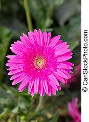 ピンク, gerbera, flower.