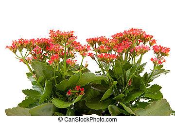 ピンク, kalanchoe, 植物, 花