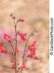ピンク, penstemon, 明るい, 花, 砂漠