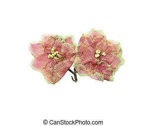ピンク, saintpaulia, 花, 押された, 乾かされた