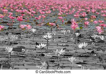 ピンク, thailand), (unseen, ロータス, 海