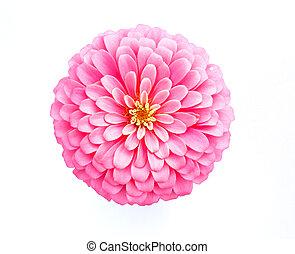 ピンク, zinnia, 白い花, 背景
