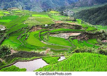 フィリピン, ricefields
