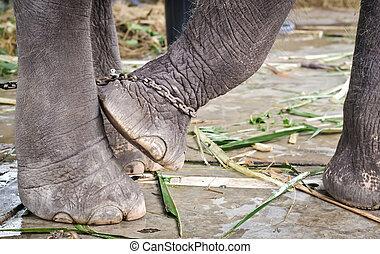 フィート, 結ばれた, 鎖, 象