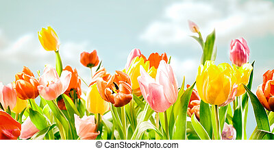 フィールド, の, カラフルである, 装飾用, 春, チューリップ