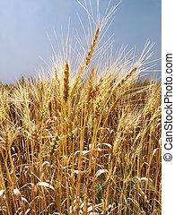 フィールド, の, wheat.