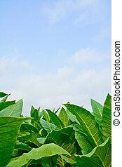 フィールド, タバコ, 緑, タイ