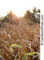 フィールド, トウモロコシ, 光景, タイ