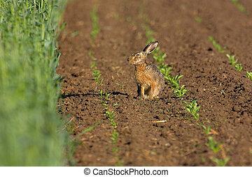 フィールド, ノウサギ