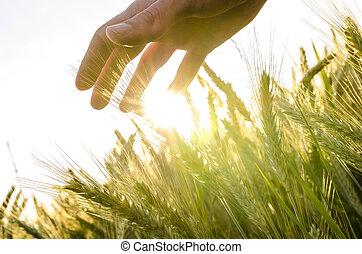 フィールド, 上に, 小麦, 手