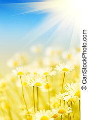 フィールド, 太陽, 照らされる, camomiles