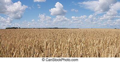 フィールド, 小麦, パノラマ