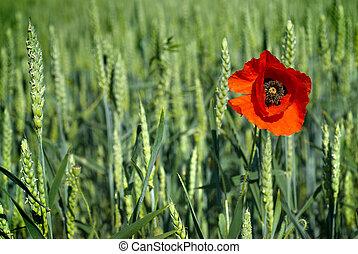 フィールド, 小麦, 緑, ケシ