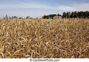 フィールド, 小麦, 背景