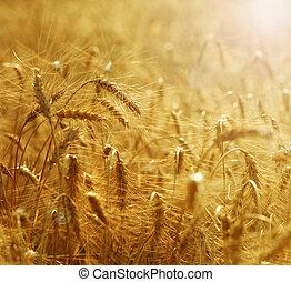 フィールド, 小麦, 金