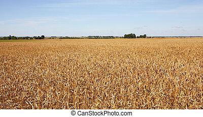 フィールド, 小麦, harvest-2012., バックグラウンド。