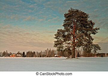 フィールド, 巨人, 木, 松, 雪が多い