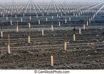 フィールド, 新たに, 横列, 植えられた, 収穫