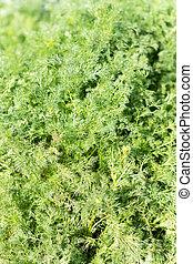 フィールド, 植物, カモミール