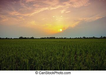 フィールド, 水田, 日没, 風景, タイ