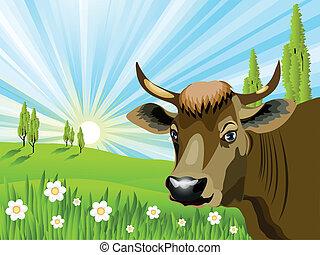 フィールド, 牛