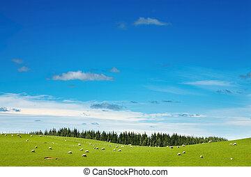 フィールド, 牧草, sheep, 緑