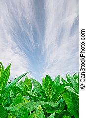 フィールド, 白, 緑の背景, タバコ