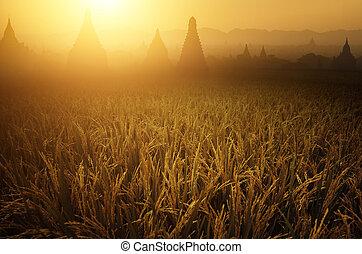 フィールド, 米, 日の出, 水田