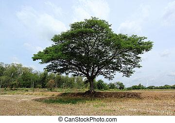 フィールド, 米, 木