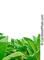 フィールド, 背景, 白, 緑, タバコ