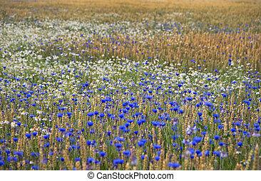 フィールド, 花, 小麦