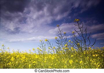 フィールド, 菜の花