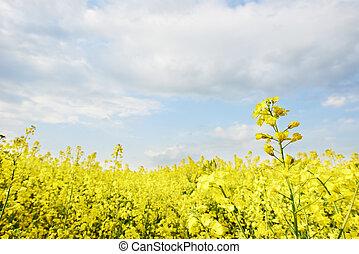フィールド, 農業, 菜の花, 耕される
