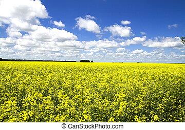 フィールド, colza, 黄色