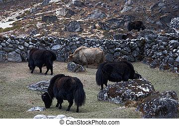 フェンス, ヤク, 道, 牧草, 石, everest, ネパール, の後ろ, ヒマラヤ山脈
