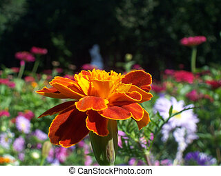 「フォーカスのアウト」, マリーゴールド, 多数, 背景を彩色しなさい, 花