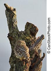 フクロウ, わずかしか, 木。, 古い