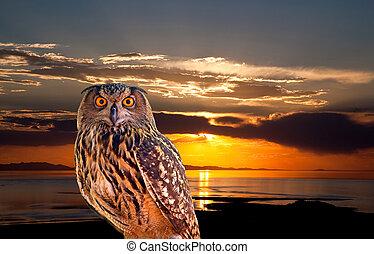 フクロウ, 日の出