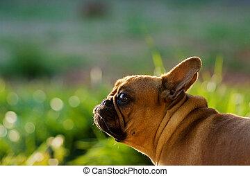 フランスのブルドッグ, 見る, のように, a, うさぎ, 上に, 日当たりが良い, meadow.