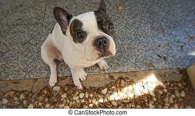 フランス語, 犬, ぼんやりしている, ブルドッグ, ∥あるいは∥
