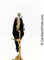 フリゲート艦の鳥, 女性